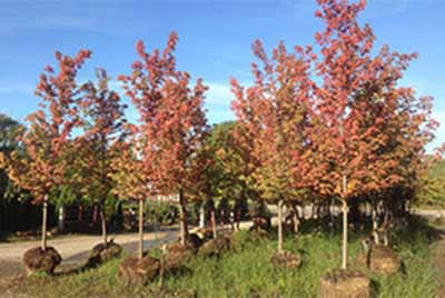 "Trees for sale at bundschuh landscape center. 2.5"" caliper, 12 foot tall, Autumn Blaze Maples pictured in fall with red leaves"